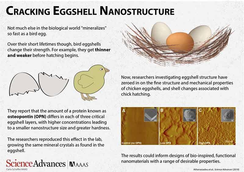 Eggshell Nanostructure